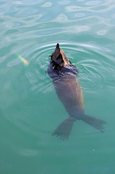 Seal; Mammal; Cape Town
