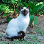 Siamese cat; domestic pet