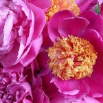 Peonies; Rose; Botanical Gardens New York
