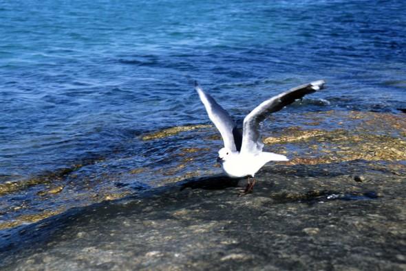 Bird; Seagull; Cape Town