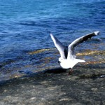 Bird; Seagull; Cape Town