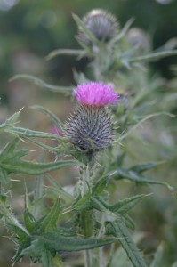 Thistle plant, Kerry, Ireland, 2003