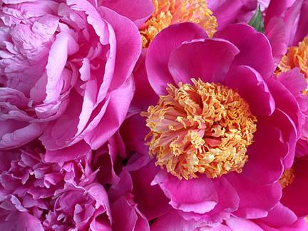Peonies; Rose; Botanical Gardens New York